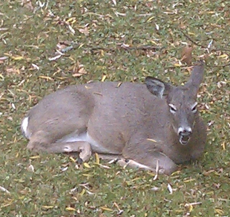 Thanksgiving Deer
